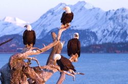 Four eagles on driftwood