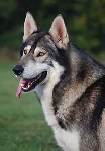 Malamute-wolf mix dog