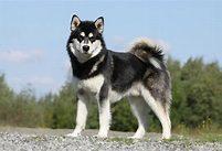 malamute, standing