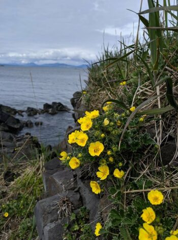 Cinquefoil growing on rock ledge near beach