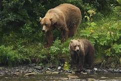 Kodiak bear and cub