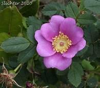Rosa Nutkana, Alaska wild rose