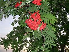 Mountain ash branch and berries