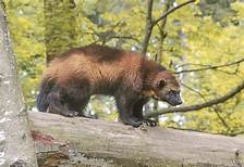 Wolverine on log