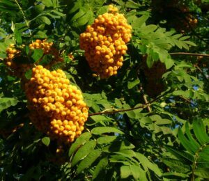 Mtn ash berries, not ripe yet
