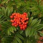 Ripe mountain ash berries
