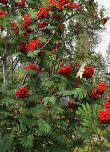 Mountain ash full of berries